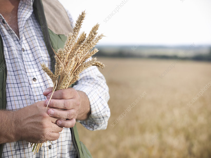 Farmer holding wheat stalks in field