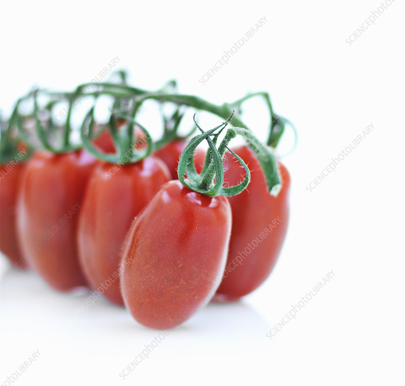 Close up of tomatoes on vine