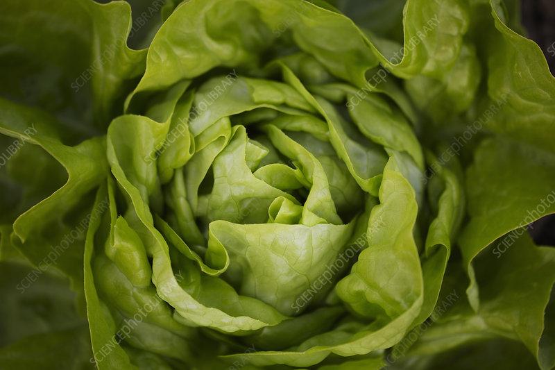 Close up of head of butterhead lettuce
