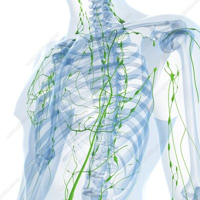 Lymphatic system, artwork
