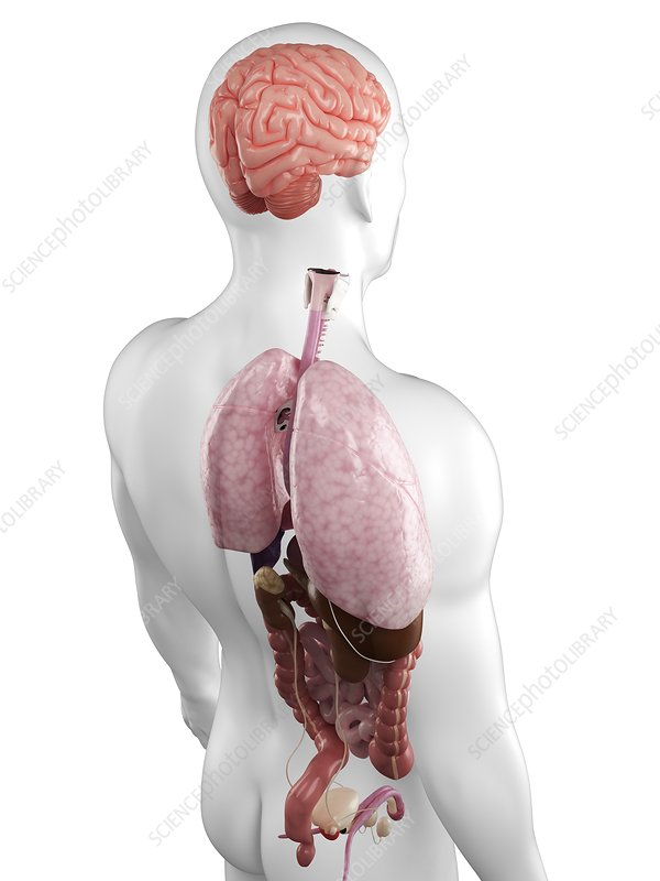Male anatomy, artwork - Stock Image F004/7701 - enlarged - Science ...