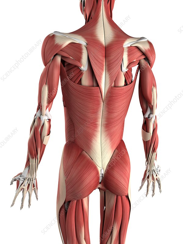 human body by system