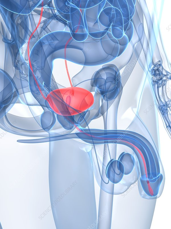 Healthy urinary tract, artwork
