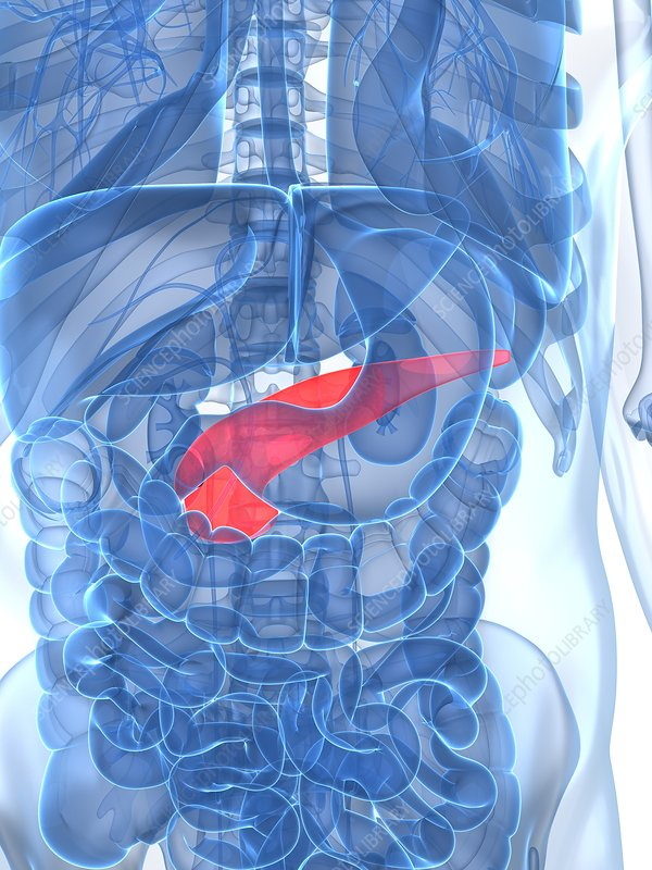 Healthy pancreas, artwork