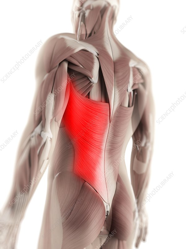 Latissimus dorsi muscle, artwork