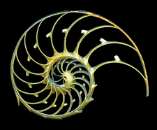 Sectioned shell of a nautilus
