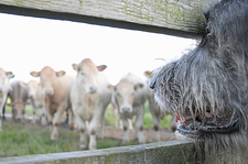 Dog watching cows through fence