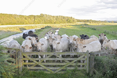 Cows standing by fence in pasture