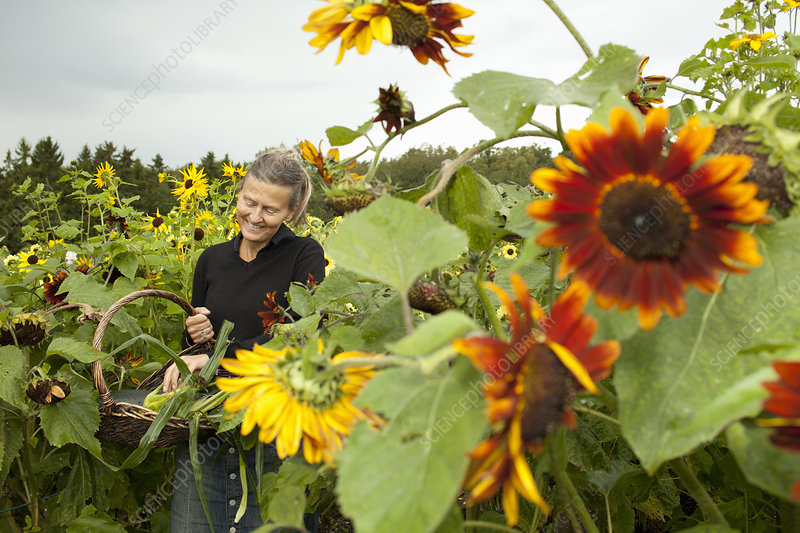 Older woman picking sunflowers
