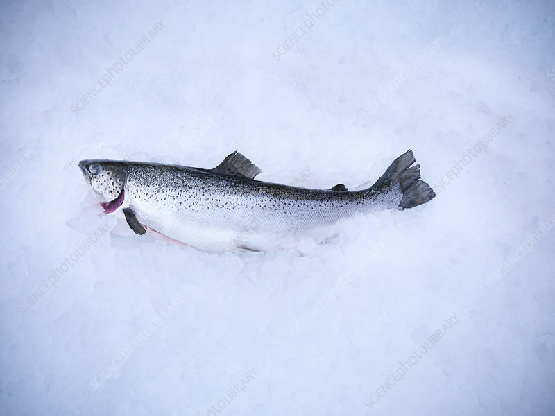 Fresh fish on bed of ice