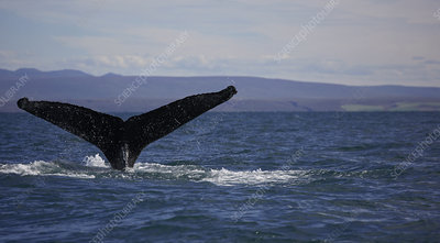 Whale tail emerging from ocean