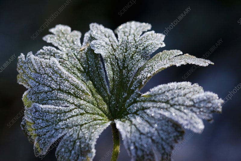 Close up of frosty plant