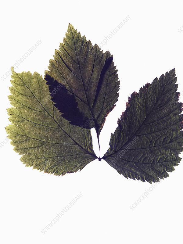 Close up of dried leaf specimen