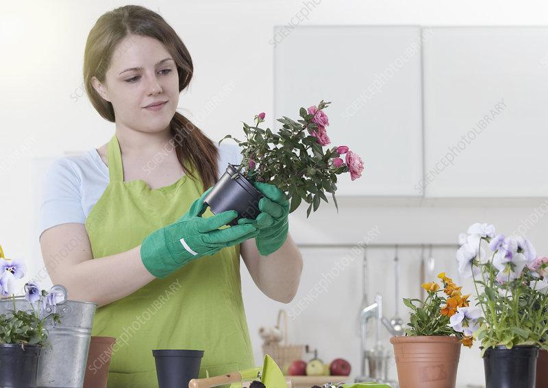 Woman de-potting flowers indoors