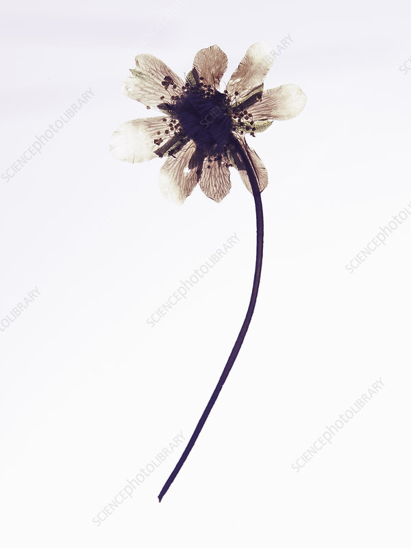 Close up of dried flower specimen