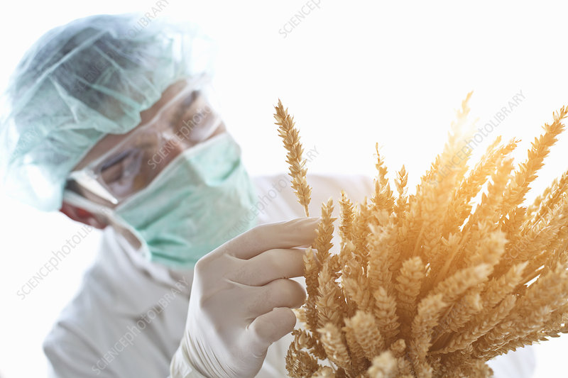 Scientist examining stalks of wheat