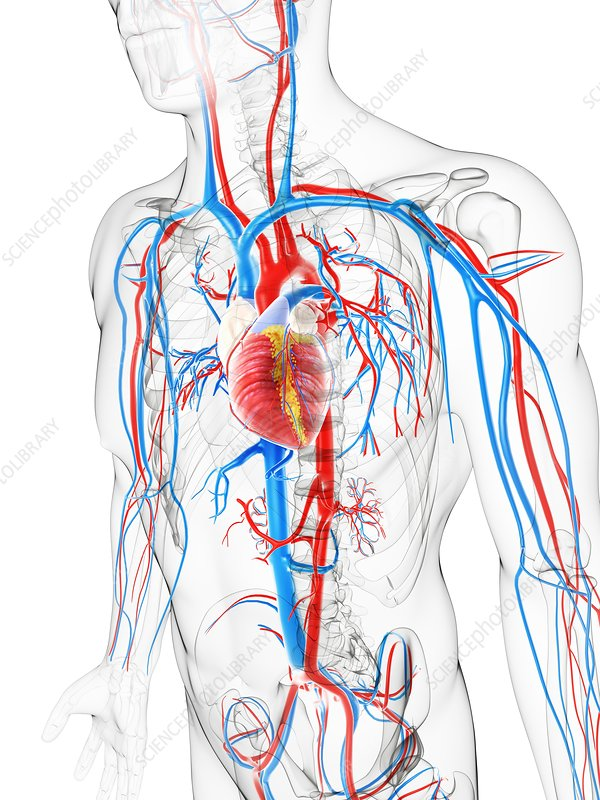 Cardiovascular system, artwork - Stock Image F005/5251 - enlarged ...: sciencephoto.com/media/485161/enlarge