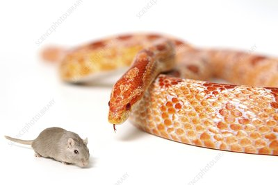 Hungry snake looking at mouse