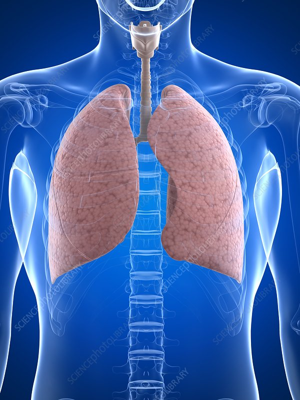 Healthy lungs, artwork - Stock Image F005/6451 - enlarged - Science ...