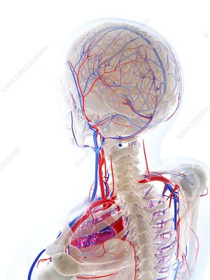Male vascular system, artwork