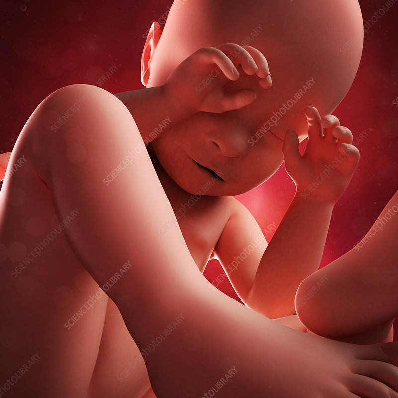 Foetus at 38 weeks, artwork