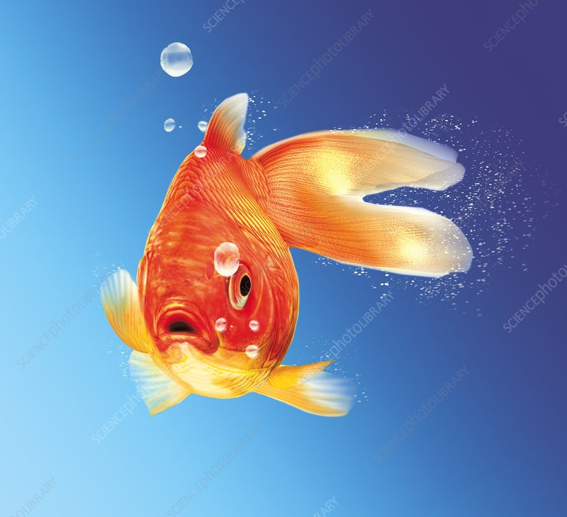 Goldfish, artwork