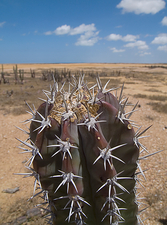 Close up of spiny cactus plant in desert