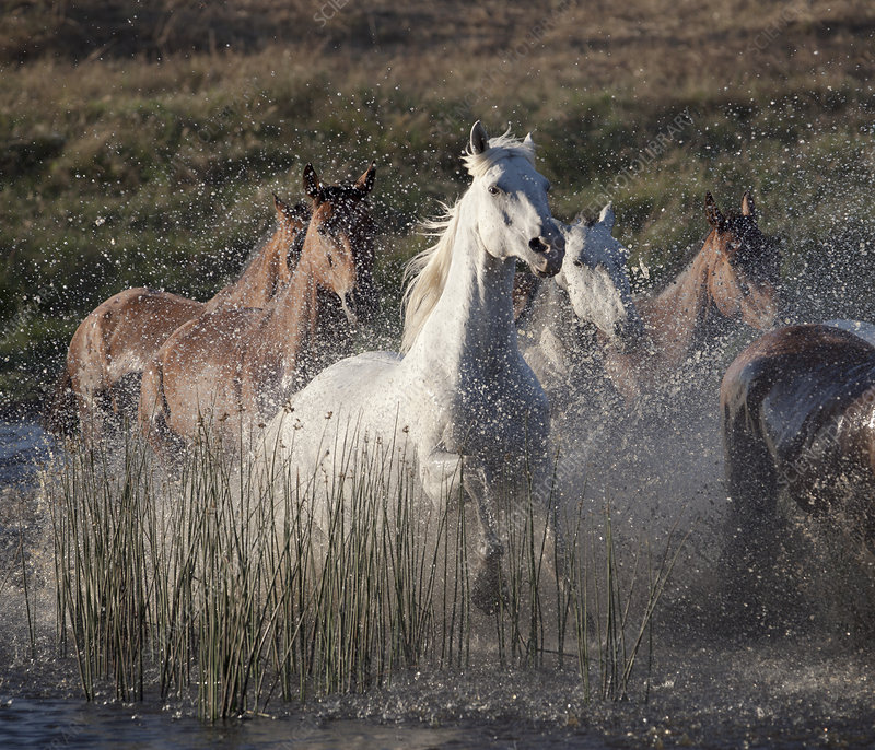 Horses running through water - Stock Image F005/7912 ... - photo#23