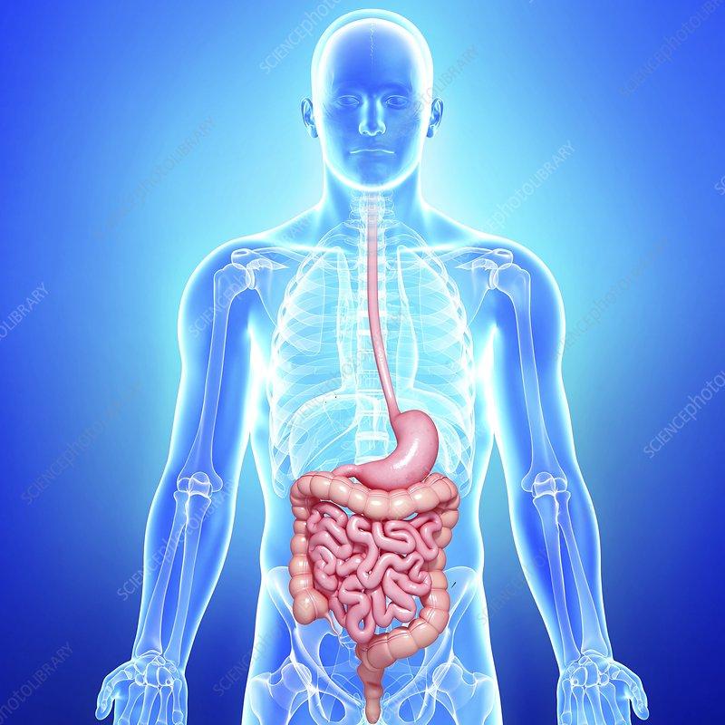 Healthy digestive system, artwork - Stock Image F005/9121 - enlarged ...