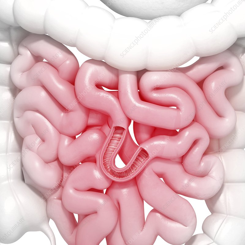 Healthy small intestines, artwork