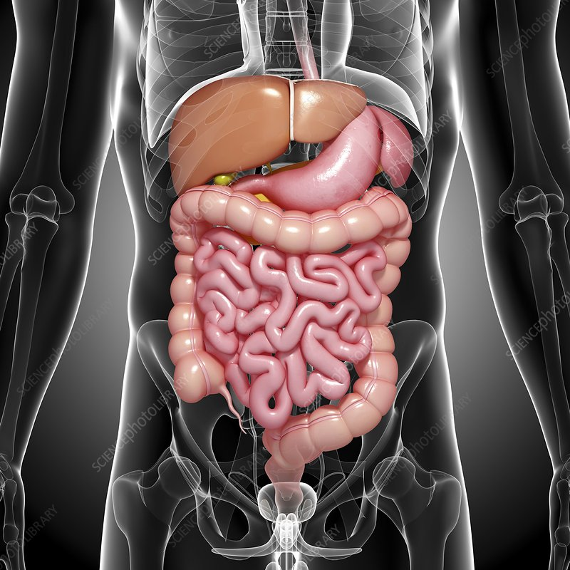 Ch 14 Dig Sys A as well Using Resistant Starches To Inhibit Colon Cancerpptx additionally Digestive Problems moreover Anatomy in addition 5bde8784. on large intestine digestion