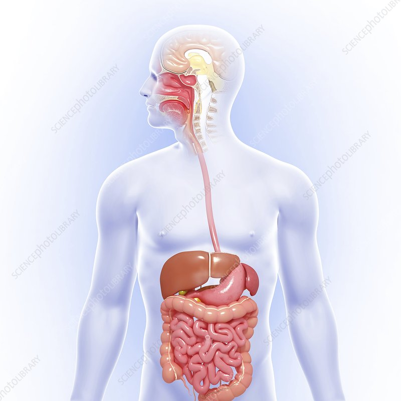 Male digestive system, artwork - Stock Image F005/9434 - enlarged ...