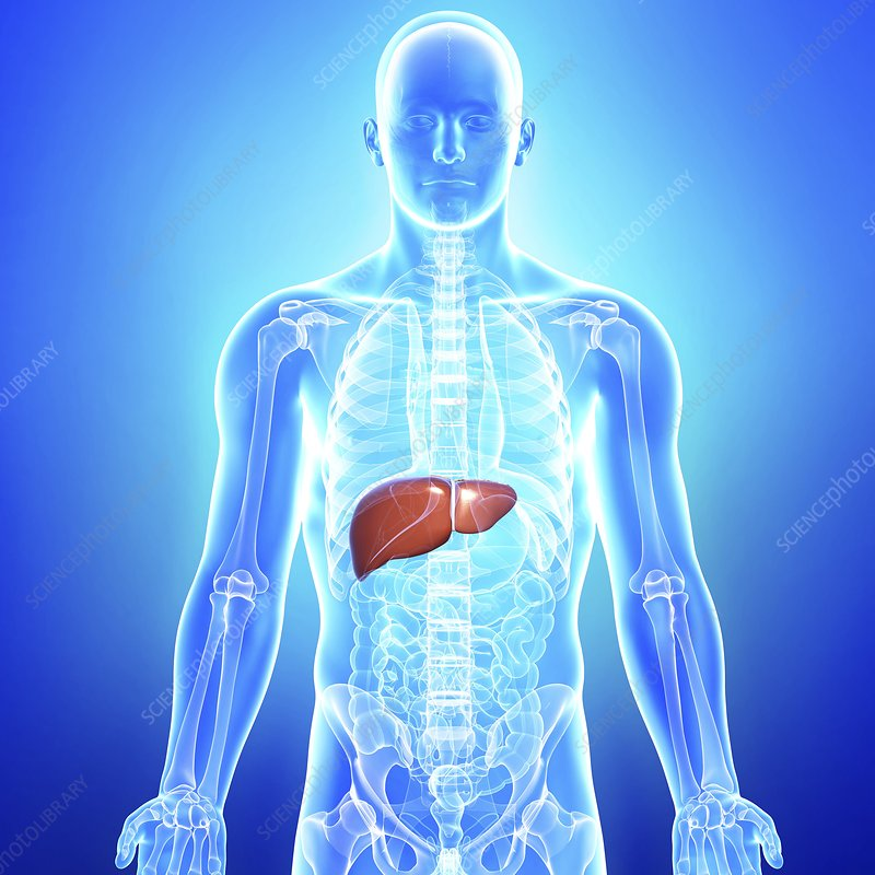 Healthy liver, artwork