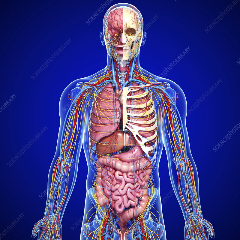 Images of male anatomy