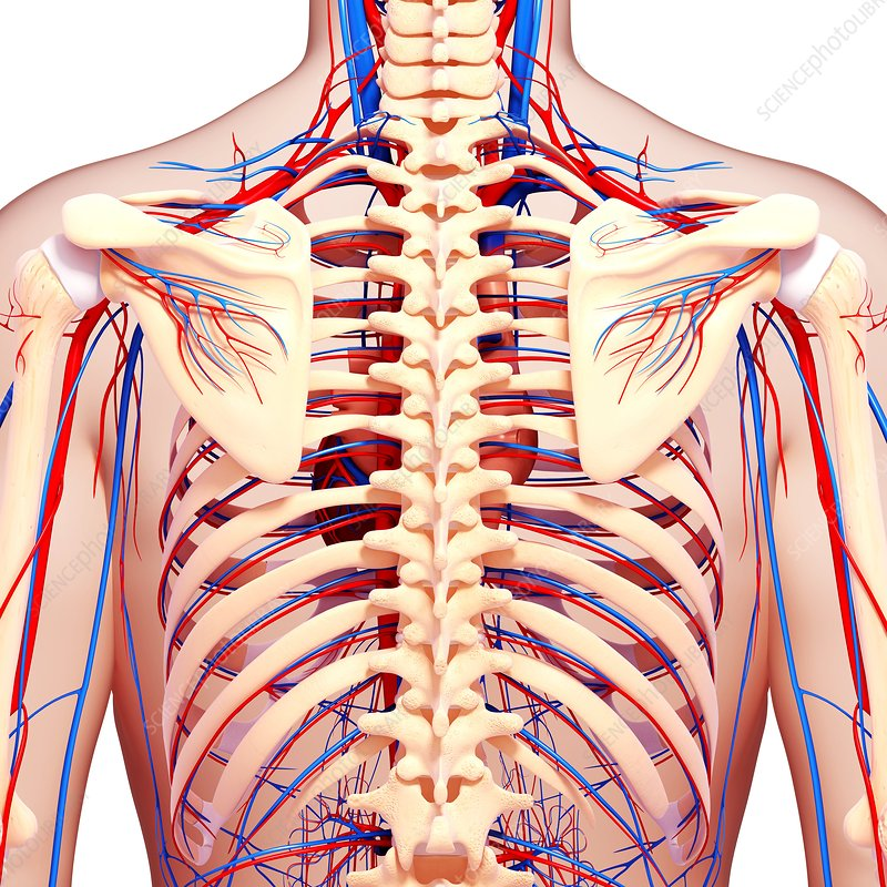 Human Muscle Structure Diagram Human Muscle Structure Diagram Human Anatomy Diagram 2 as well Enlarge likewise Enlarge as well Draw The Structure Of A Lymph Node likewise Diagram Of A Liver Liver Anatomy Labeled Diagram Stock Illustration 220894729. on human body circulatory system