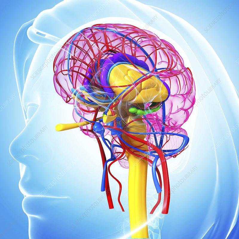 Brain anatomy image