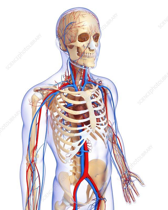 Upper Body Anatomy Artwork Stock Image F0059994 Science