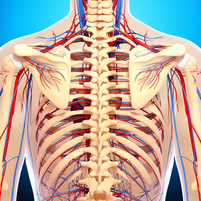 Back anatomy, artwork - Stock Image F006/0074 - enlarged - Science ...