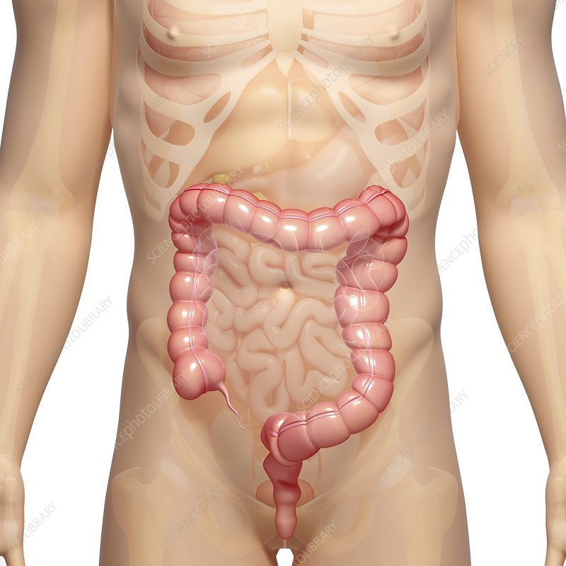 Male large intestines, artwork
