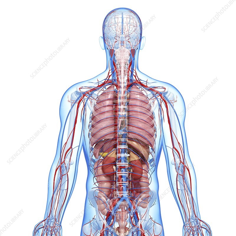 The Baby Refused Die One Tiny Newborn Five Gruelling Operations Moving Pictures Reveal Astonishing Battle Survival further Anatomy as well Enlarge as well Circulatory System 15875173 further Circulatory System Drawing 2. on lung circulatory system