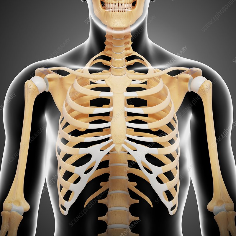 Upper body bones, artwork