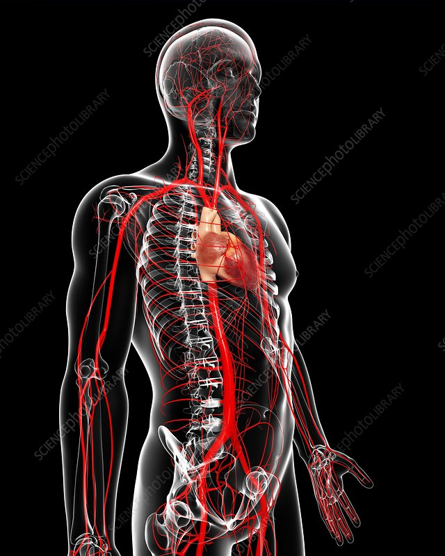 Mrdugger weebly besides View besides Three Phyla Of Worms also Enlarge besides Stock Illustration Vascular System Dog Vector Illustration Medical Veterinary Science Educational Image61166170. on science circulatory system