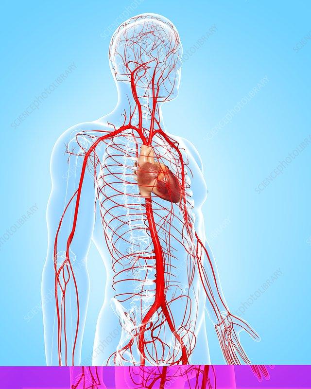 Human arteries, artwork - Stock Image F006/0449 - enlarged - Science ...