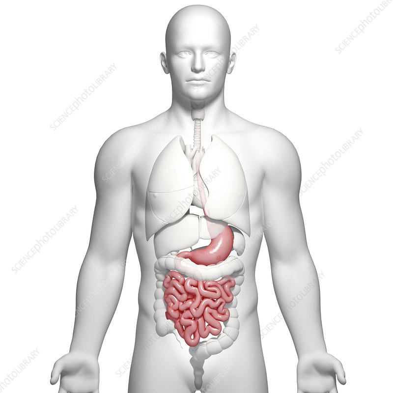 Male digestive system, artwork