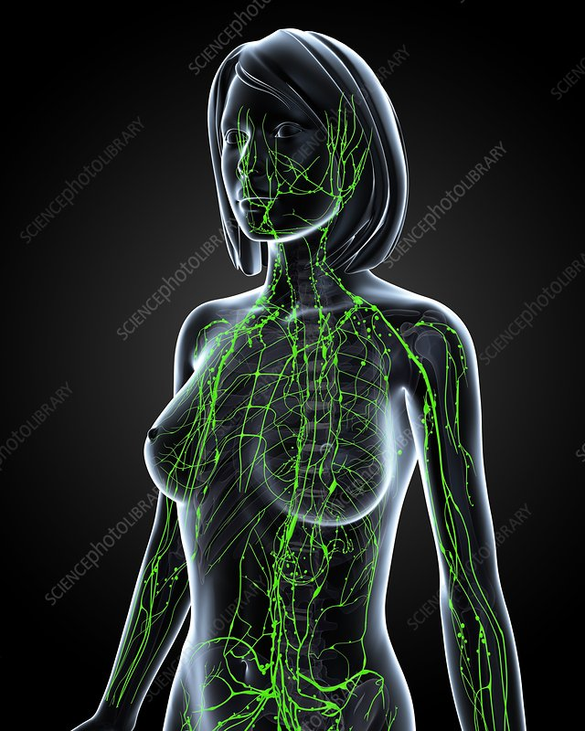 Female lymphatic system, artwork - Stock Image F006/0486 - Science ...