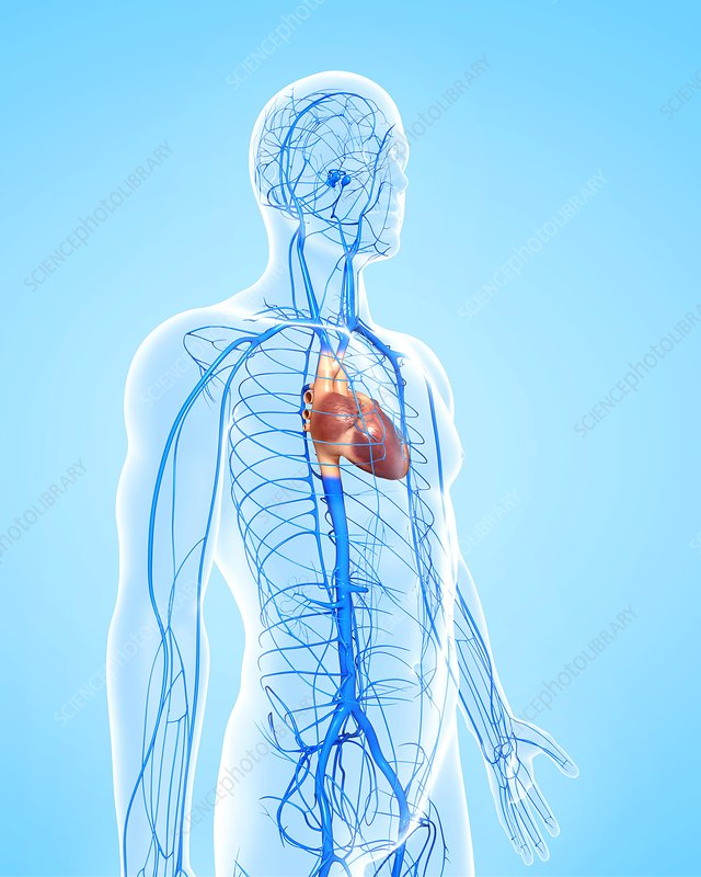 Que Faire Lorsque Lon Ressent Une Douleur La Poitrine in addition Horses Circulatory System Horse Cardiovascular System Anatomy Body Charts additionally Ismn Stada 60 Mg moreover Watch moreover Circulatory System. on circulatory system heart