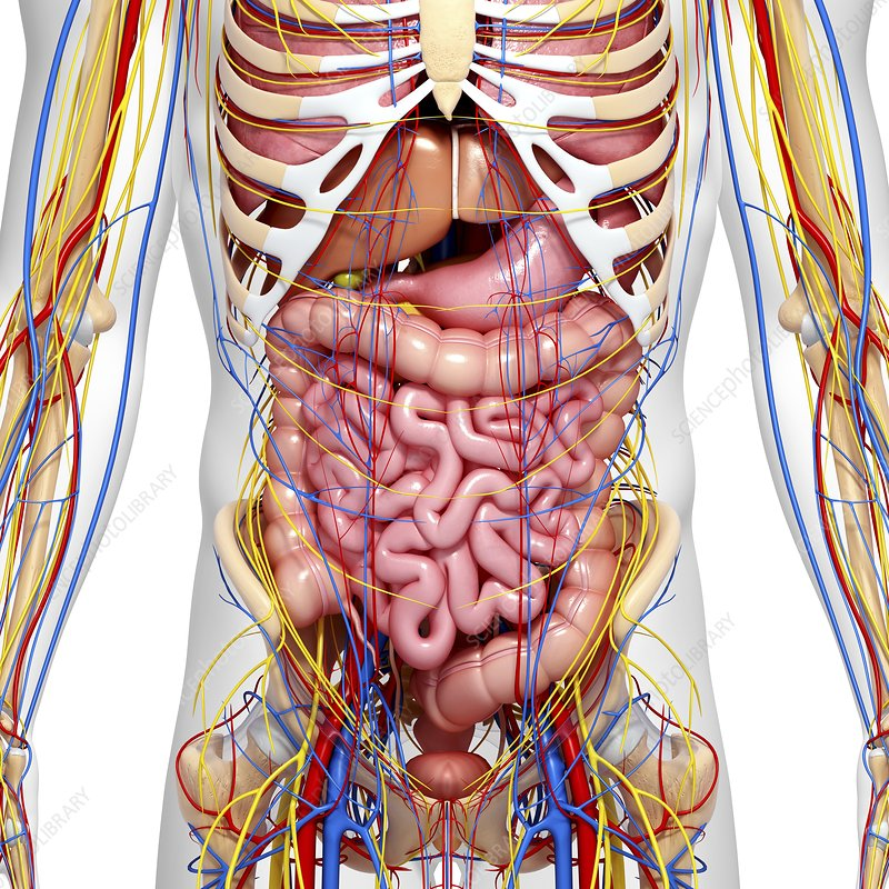 Abdominal anatomy, artwork