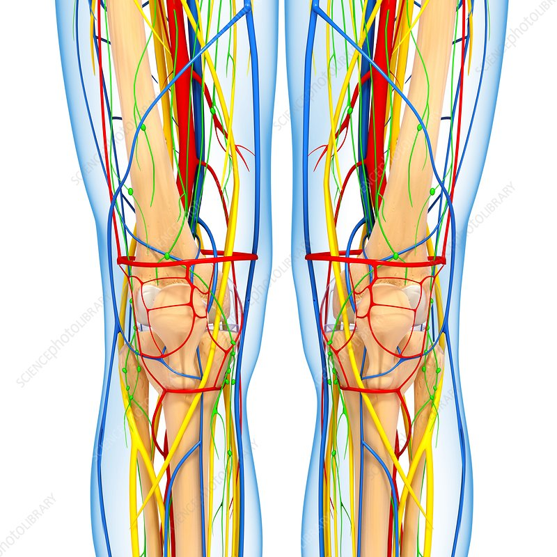 Knee anatomy, artwork