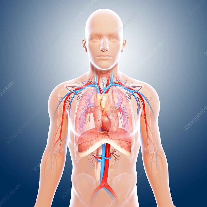 Anatomy upper body