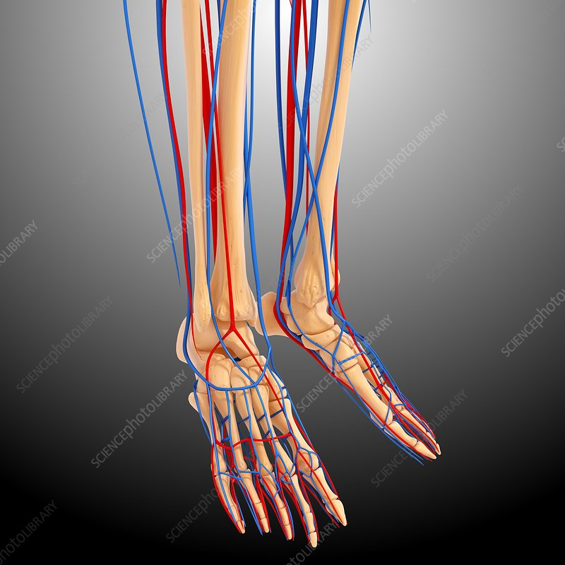 Lower leg anatomy, artwork